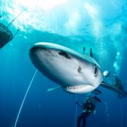 Pico_Sport_Diving_With_Sharks_006