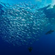 Pico_Sport_Diving_With_Sharks_011