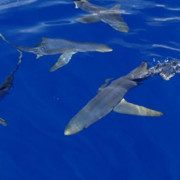 Scuba-Azores-Shark-Watching-Blueshark-324×180
