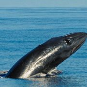 Scuba-Azores-Whale-Watching-006